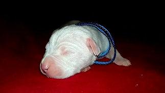 Dogo Argentino Pakhra Magnifika 2-O male Blue