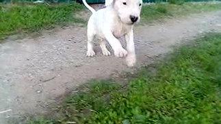 Pakhra Magnifika Tornado male puppy Dogo Argentino