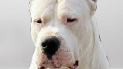 Dogo Argentino Puppies Pakhra Magnifika kennel