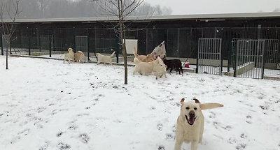 golden e labrador inverno 1