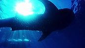 Whale Sharks 2018