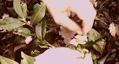 fécondation manuelle de fleurs de théiers-2020,1114