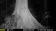 Jaguar rubbing against L'aire du Temps Perfume