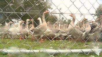 Byrd Park Geese Re-homed