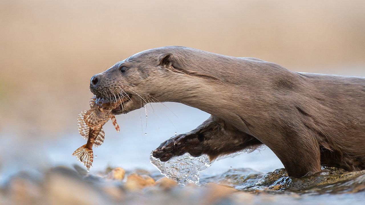 UK Wildlife Showreel 2018 - Josh Jaggard