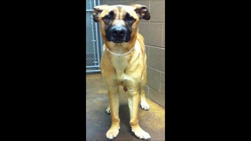 angular limb deformity dog