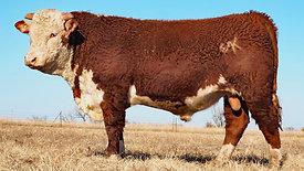'21 Hereford Bulls