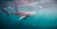 Whaleshark Conservation Djibouti - Dolphin Excursions