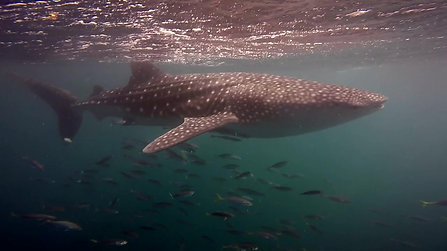 Whaleshark trailer HD