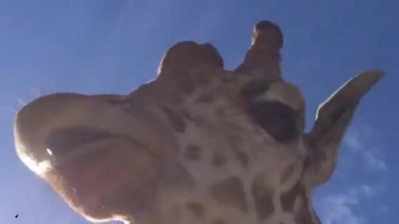 Giraffe on Set