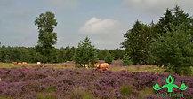 Koeien in de heide bij het Kampina natuurgebied