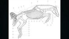 Exploring Equine Anatomy