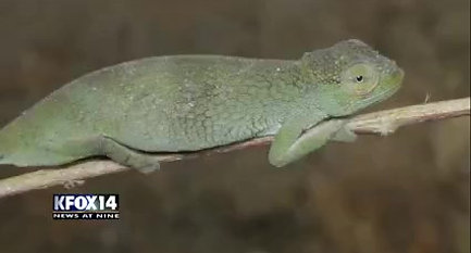 El Paso News - KFOX - New chameleon species - 19 June 2017