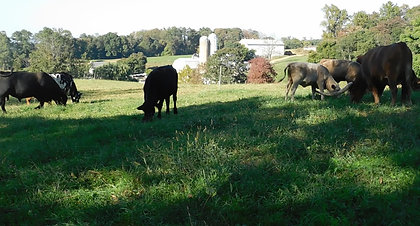 Our herd of cattle enjoying the awesome grass