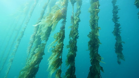 Lines of cultivated seaweed at Okehampton