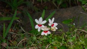 姫檜扇(ヒメヒオウギ) Flowering of Himehi Ohgi in the morning.