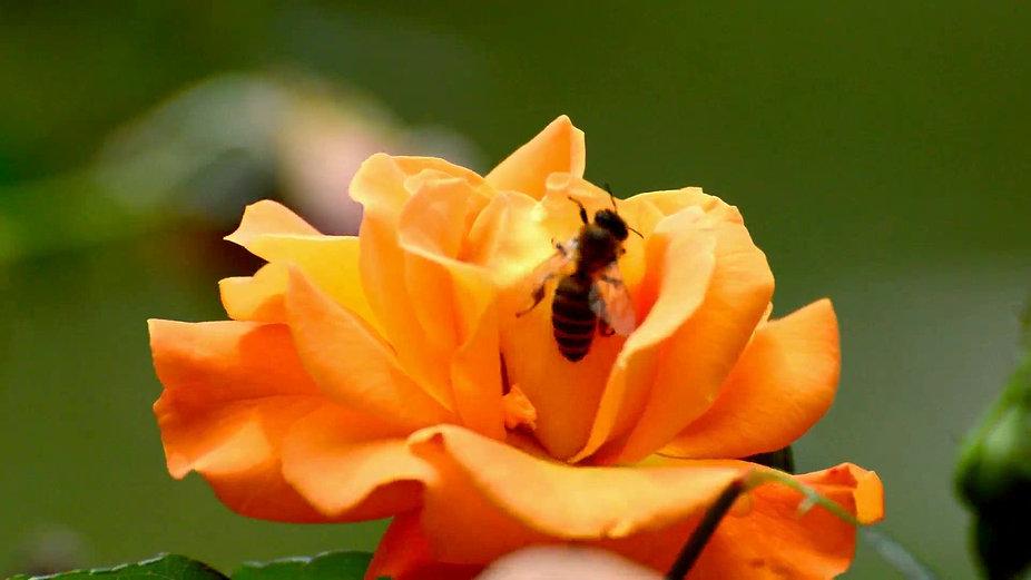 Пчела на розе