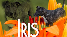 IRIS à l'adoption