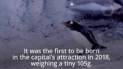 Baby gentoo penguin takes its first swim at Sea Life London