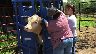 Tattoo, Ear Tags, Vaccines & Deworming Skylar - Registered Hereford Bull