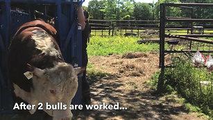 Cattlewomen Working Registered Hereford Bulls(2)