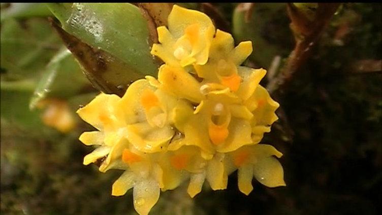Maxillaria pseudoneglecta with pollinator