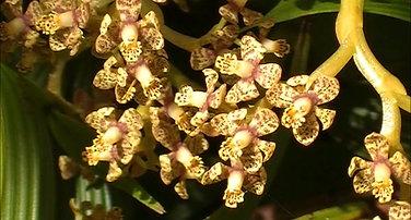 Epidendrum wercklei in-situ
