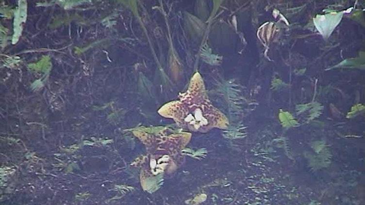 Stanhopea hernandezii visited by Eufriesea caerulescens