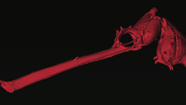 MicroCT scan of a ruby seadragon