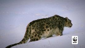 WWF US Snow Leopard DITV