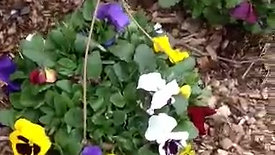 $19.99 Pansy Hanging Baskets