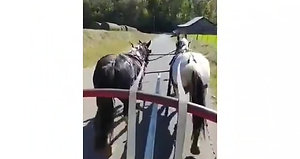 Penny and Bonnie paint crossbred mares nice all purpose size team. Well broke to work and ride. Been on wagon trains and used in some farm machinery. Also ride under saddle. Easy to catch and gentle to handle