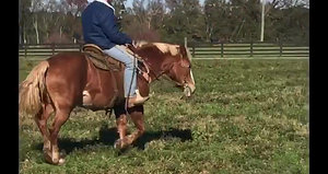 Super quiet, super safe Haflinger x Belgian cross. Stocky built mare who has been used for just about everything. Rides and drives. Well suited for most any level rider or driver. Sound, probably 14.2-3 and smooth mouth.