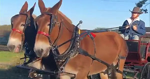 16 and 19 year old pair of draft molly mules. Extremely gentle, easy to get along with team. No funny business about their ears, easy to harness and hook. Broke to ride and drive. Traffic safe and ready to go. Very nice team