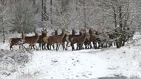 Herd Of Deer Running On Snowy Road