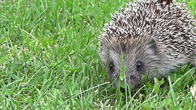 Hedgehog Looking For Food