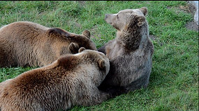 The Bear Suckled Her Cubs