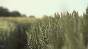 Video Of A Vast Wheat Field