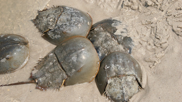 Establishing a Horseshoe Crab Sanctuary