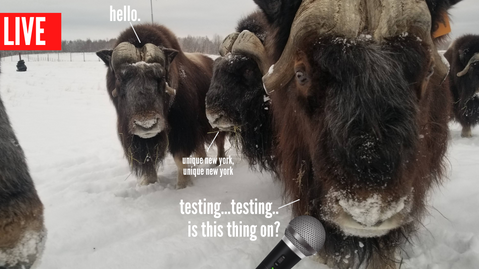 Live! at the Musk Ox Farm (updated every Thursday)