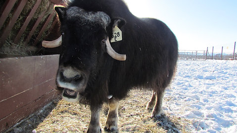 What does a musk ox sound like?