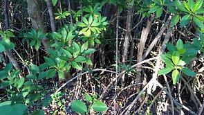 Episode 34: Mangroves!