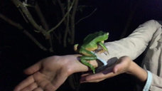 Giant Green Monkey Frog (Phyllomedusa Bicolor)