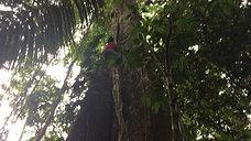 Giant Tree Climbing