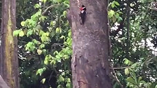 CRIMSON CRESTED WOODPECKER