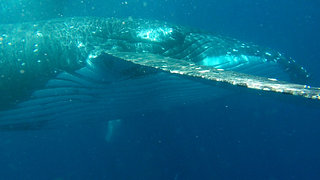 HUMPBACK WHALES IN THE KINGDOM OF TONGA