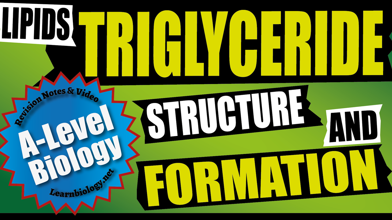 A Level Biology - Triglycerides - structure and formation
