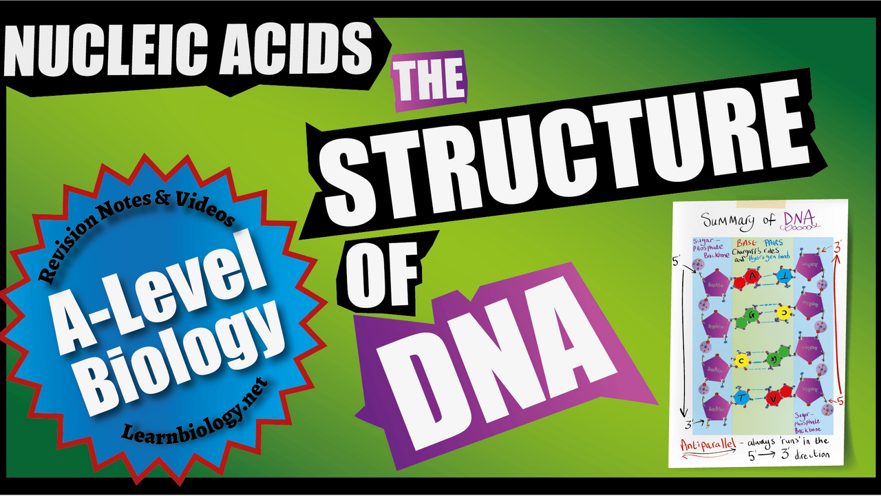 A Level Biology The Structure and brief history of DNA