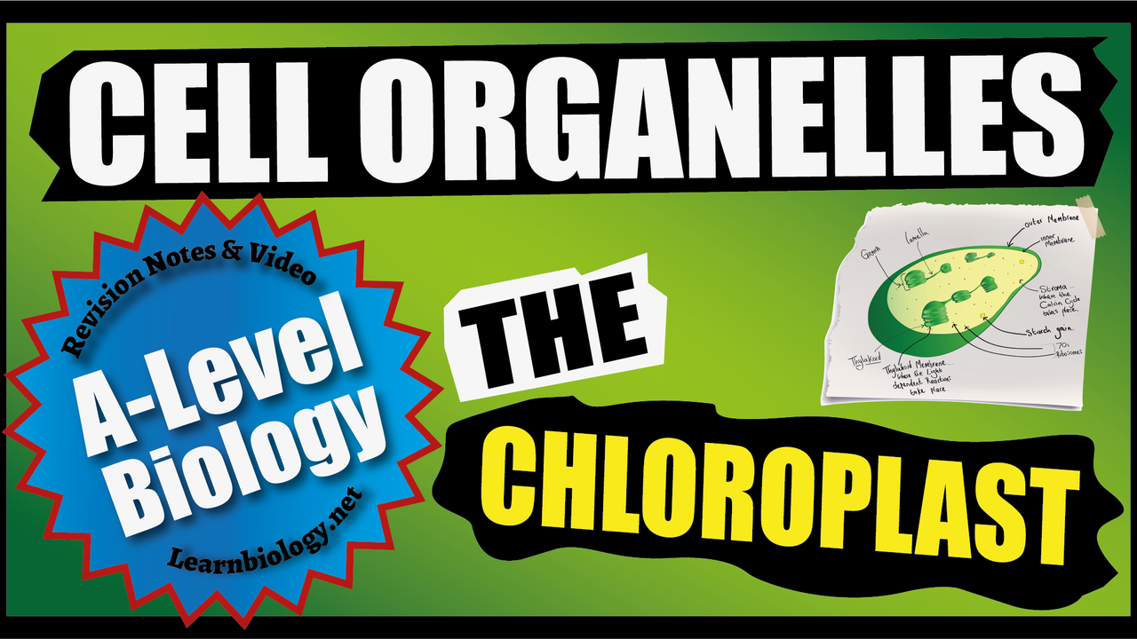 A Level Biology Organelles - The Chloroplast - the site of photosynthesis