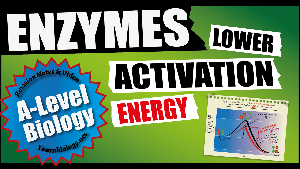 A Level Biology Enzymes: Enzyme Lower Activation Energy
